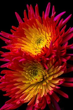 ✯ Fire Spider Mums Beautiful gorgeous pretty flowers Love the colors Exotic Flowers, Amazing Flowers, Colorful Flowers, Beautiful Flowers, Beautiful Gorgeous, Prettiest Flowers, Fall Flowers, Spider Mums, Planting Flowers
