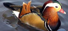 Check out this Mandarin duck at Sylvan Heights Bird Park