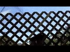 Check out our cat deck - outdoor cat enclosure for indoor cats; tip is using Lattice