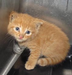 STILL AVAILABLE!  Please hurry and save this precious baby.  Lee County Animal Control NC.