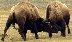 Image result for bison sparring