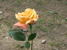 Rose - Rose in the garden