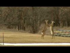 Enjoy this Throwback Thursday look at these two feisty deer fighting at Tomar Park from three years ago. [VIDEO]