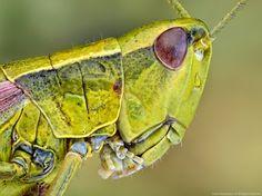 ,grasshopper. by ireneusz irass walędzik - Photo 12316153 - 500px