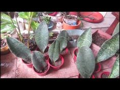 Sansevieria Masoniana/ Whale Fin - Paano Paghiwahiwalayin - YouTube Whale, Tutorials, Gardening, Vegetables, Youtube, Plants, Whales, Lawn And Garden, Vegetable Recipes