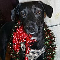 Pictures of Joey a Labrador Retriever for adoption in Hillsboro, IL who needs a loving home.