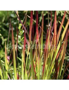 Imperata cylindrica 'Red Baron' - eshop