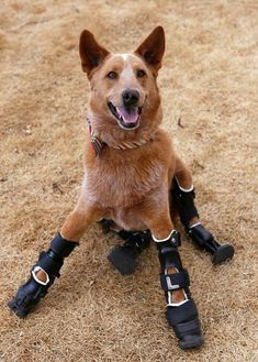 This is Naki'o. As an abandoned puppy, he lost all of his feet to frostbite. But now he has 4 prosthetic legs and happily lives in his forever home in Colorado.