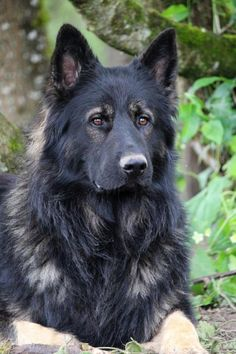 Shiloh Shepherd Dog  | Hélia et Jay - 2014 | Altdeutsche Schaferhunde - Berger Allemand poil ...