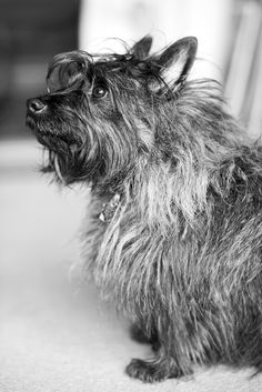Famous cairn terrier Cairn Terriers, Terrier Dogs, Westies, Bichons, Puppies And Kitties, Cute Animal Photos, Losing A Dog, Doge, Back Home