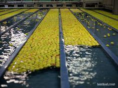 Entriamo in stabilimento e scopriamo le fasi per il confezionamento della mela Melinda della Val di Non
