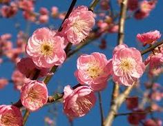 Prunus Mume - Flowering branches make a stunning statement in ceremony and escort table arrangements.