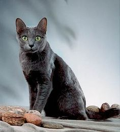 """Korat Cats Thailand's """"Good Luck Cat"""" Originated in Thailand sometime in 1350 A.D. Used a good luck cat, they were primarily owned by royalty. Not as vocal as their Siamese comrades, these cats still find other ways to communicate with their owners, such as when they are hungry, they will wrap themselves at your ankles."""