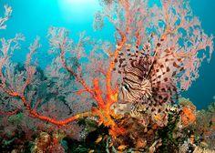5004 Ansichten zum 30. Oktober 2015 Rotfeuerfisch (Pterois volitans) auf einem Riff östlich von Bootless Bay, Papua-Neuguinea. Nikon D300s, AF DX Fisheye-Nikkor 10,5 mm mit 1.4x Tele Extender (effektive Brennweite ca. 15mm), ISO 200 in RAW, f / 8 bei 1/200 Sek. Seacam Gehäuse, zwei Seacam blinkt. Hervorgehoben in den RedBubble Gruppen: * Die Silky Touch * * Natur in ihrer Gesamtheit * * Hohe Qualität Tierbilder * * Epische Photographers Association – EPA * * Für die Liebe ...