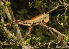 Green Iguana male in canopy