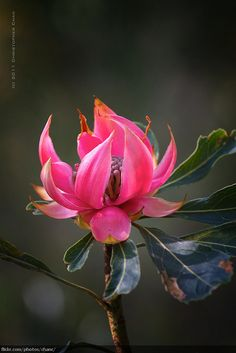Waratah by Christopher Chan