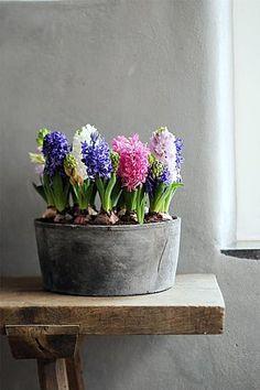 Hyacinth in metal tub Indoor Garden, Indoor Plants, Indoor Flowers, Spring Bulbs, Deco Floral, Bulb Flowers, Hyacinth Flowers, Bouquet Flowers, Rose Flowers