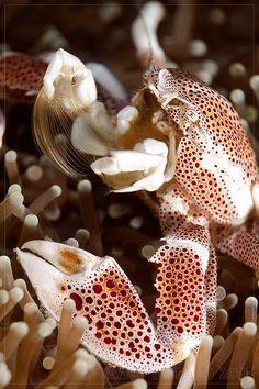Porcelain crab / Indonesia