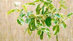 Dwarf Fruit Trees Australia - Dwarf Fruit Trees#australia #dwarf #fruit #trees Fruit Trees Uk, Fruit Trees For Sale, Fruit Trees In Containers, Fruit Tree Garden, Dwarf Fruit Trees, Citrus Trees, Fruit Plants, Container Plants, Pink Lemon Tree