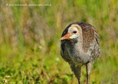 They grow up so quickly, a young Sandhill Crane