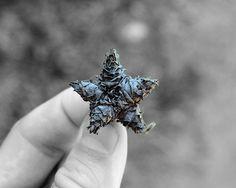 Star Shaped Seed Pod