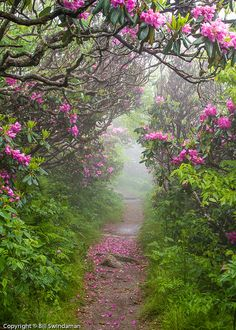 Catawba rhododendron along the Craggy Pinnacle Trail, Blue Ridge Parkway - North Carolina