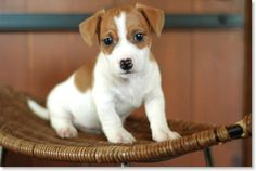 Little Jack Russell Terrier