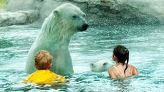 polar bear habitat, cochrane, ontario.  so cool.  you are separated from the polar bears by a sheet of glass. I want to go