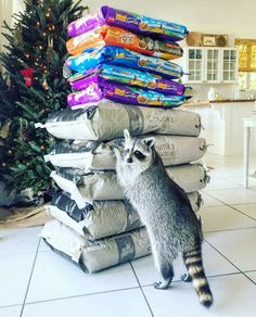 "Pumpkin The Raccoon | ""Who me? I was just....um....counting the bags of food. Yeah...that's what I was doing!"""