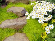 Stepable plants for pathways, rock walls and other ground cover ideas.  These Stepables are amazing for your yard and landscape. Scotch moss.