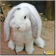 Giant French Lop Rabbits | age kind three and a half years old giant french lop rabbit