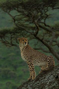 4 December  - international world cheetah day ♥