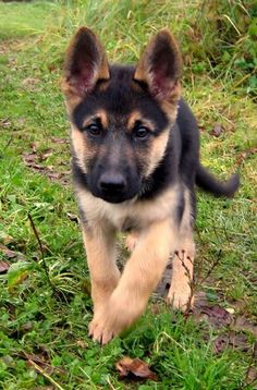 The German Shepherd is as intelligent as it is versatile. This breed fares well in the city or country with a moderate to high activity level. The German Shepherd is often used in police and military work. Wanna know more? Click the image!