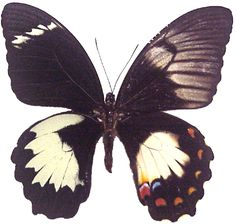 gynandromorph butterfly...assymenrical?