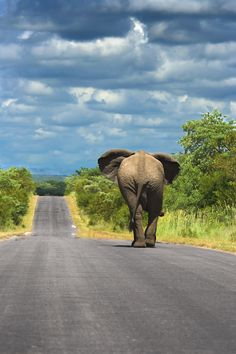 An elephant walking on one of the tar roads that connect the main camps in Kruger National Park. Elephants in Kruger often use the roads to travel as they are free of vegetation and simplifies transport. Smart Guys !
