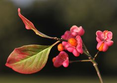 Buy spindle tree Euonymus europaeus 'Red Cascade': Delivery by Waitrose Garden in association with Crocus