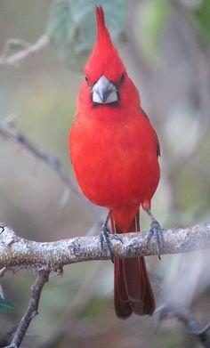 Cardinalis phoenicius / Vermilion Cardinal straight on shot