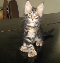 Maine coon kittens durham nc