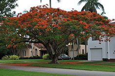 Flammenbaum (Delonix regia) - my new favourite tree!!!