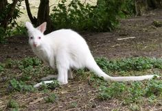 The Albino Wallaby Joey