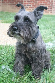 """This little mini schnauzer is just to cute and her name is """"Dixie"""""""