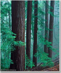 Woodside Redwoods and Mist - Bill Atkinson The Great Outdoors, Mists, California, Plants, Photography, Image, The California, Flora, Plant