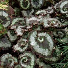 Begonia 'Escargot' - Fine Gardening Plant Guide.  i want one of these for my living room!