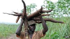 The cassava plant could help farmers in Africa cope with climate change because of its ability to thrive in hot temperatures, a scientific report says. Phone Plans, Green Nature, Climate Change, Garden Sculpture, Natural Beauty, Farmers, How To Plan, World, Plants