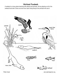 Wetland Food Web Activity