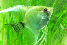 31 Blue Reef Aquarium, Angelfish, Pets, Animals, Animales, Animaux, Animal, Animais, Animals And Pets