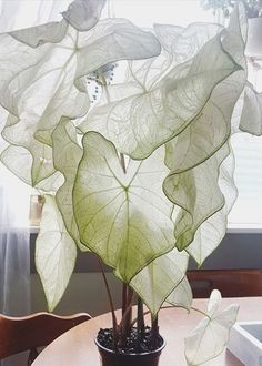moonlight caladium 🌙 adding this beauty to my plant wish list - Indoor Plants. - moonlight caladium 🌙 adding this beauty to my plant wish list – Indoor Plants and Floral Arran - Potted Plants, Garden Plants, Indoor Plants, Caladium Garden, Indoor Plant Decor, House Plants Decor, Potager Garden, Nature Plants, Flowers Nature