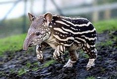 Photos: Exotic fauna in the tropical forests: animals in the rainforest - Tierisch gut - Tiere Weird Looking Animals, Scary Animals, Nature Animals, Cute Baby Animals, Animals And Pets, Funny Animals, Happy Animals, Large Animals, Zoo Animals