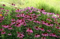 *This year: Transplant Pink Coneflower to Butterfly garden next to Daisies... Moms yard