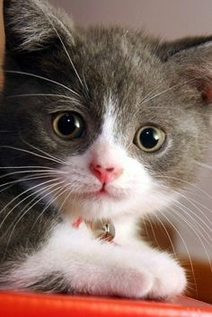 """""""When you invite a kitten into your home, you bring indoors, something slightly wild, often unpredictable and always entertaining."""" --Barbara L Diamond"""